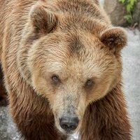 Медведица :: олег