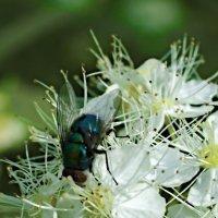 Зелёная падальная муха :: Сергей Владимирович Егоров