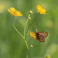Бабочка и лютик :: Анатолий Иргл