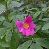Как розовая бабочка шиповник средь листвы :: Tarka