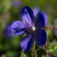 Полевой цветок :: Анастасия Грек