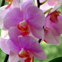 Красота орхидеи :: Сергей Карачин