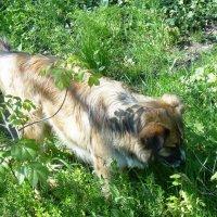 Собачка нашла лечебную травку :: татьяна