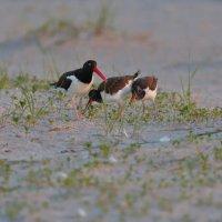 oystercatcher кормит птенцов :: Naum