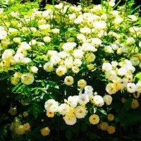 Бордюрные белые розы.... :: Любовь К.
