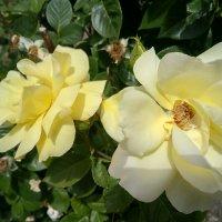 Розы :: Serg