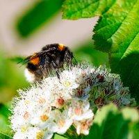 Я пчёл сегодня не нашёл, но шмель мне всё таки попался... :: Анатолий Клепешнёв