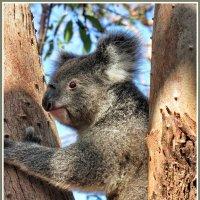 Коала - символ Австралии :: Евгений Печенин