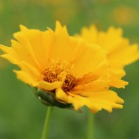Солнечный цветок :: Елизавета Горенкова