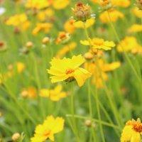 Цветы солнца :: Елизавета Горенкова