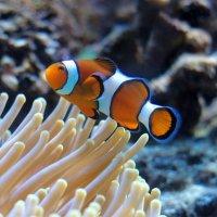Рыба-клоун :: Евгения Осипова