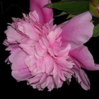 розовый пион. :: Елена Шутова