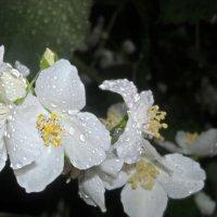 жасмин в дождливую погоду :: Елена Шутова