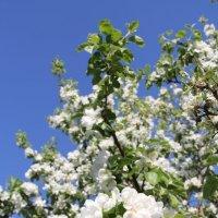 Яблоня в цвету :: Ekaterina Bogomolova