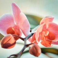 Орхидея :: Natali Natali