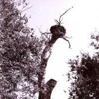 Самая старая чинара в Бухаре :: Павел Гусев