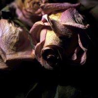 Розы :: Ольга Сова