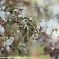 Цветущая яблоня :: Tatyana Romanova