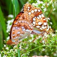 Бабочки :: Андрей Меренов