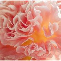 Цветок махровой мальвы. :: Лилия *
