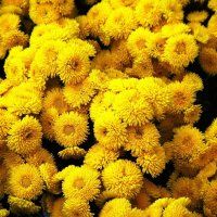 Жёлтые :: Ирина Сивовол