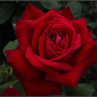 Роза любви :: galina tihonova