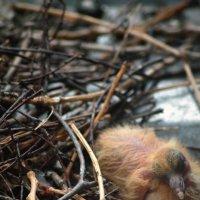 новорожденный голубенок :: Лариса Панченко