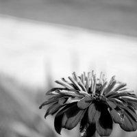 Цветок :: Анна Вопилова