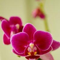 орхидея) :: Анжеліка Гончаренко