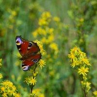 Бабочка :: Борис Устюжанин