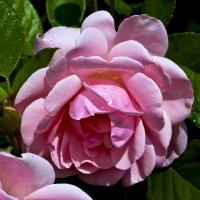 роза :: Александр Есликов
