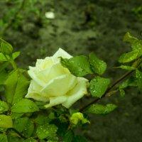 Роза :: Julia Julia
