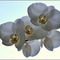 Орхидея :: Василий Хорошев