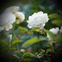 белые розы... :: Татьяна Б.