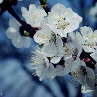 Весна :: Olya Rachuk
