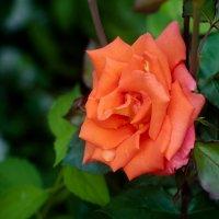 Просто роза :: Юлия Makarova