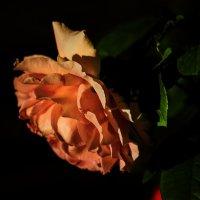 Rambler «Albertine» :: OzMann