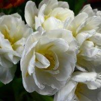 тюльпаны :: Оксана Грищенко