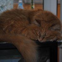 мой кот Феникс :: Аня Журавлёва