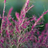 Краски цветов :: Наталья Сапанюк