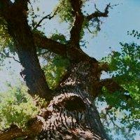 Святое дерево :: Виктор Осипчук
