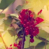 Красная смородина :: Никола Ермаков