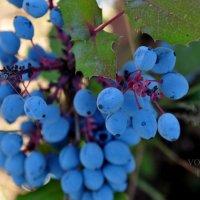виноград :: Ирена Воргуль