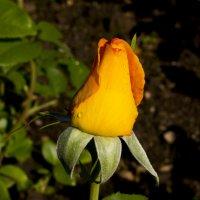 Роза :: Яков Геллер