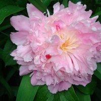 ...нежно-розовый :: марина ковшова
