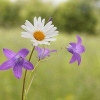 Полевые цветы. :: Светлана Крюкова