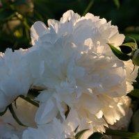 пион White Sarah Bernhardt :: pich