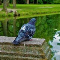 Голубь Александровского Парка... :: Sergey Gordoff