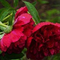 Не грусти  под дождем , не печалься..... :: Валентина Папилова