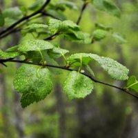 Листочки после дождя... :: Дмитрий Петренко